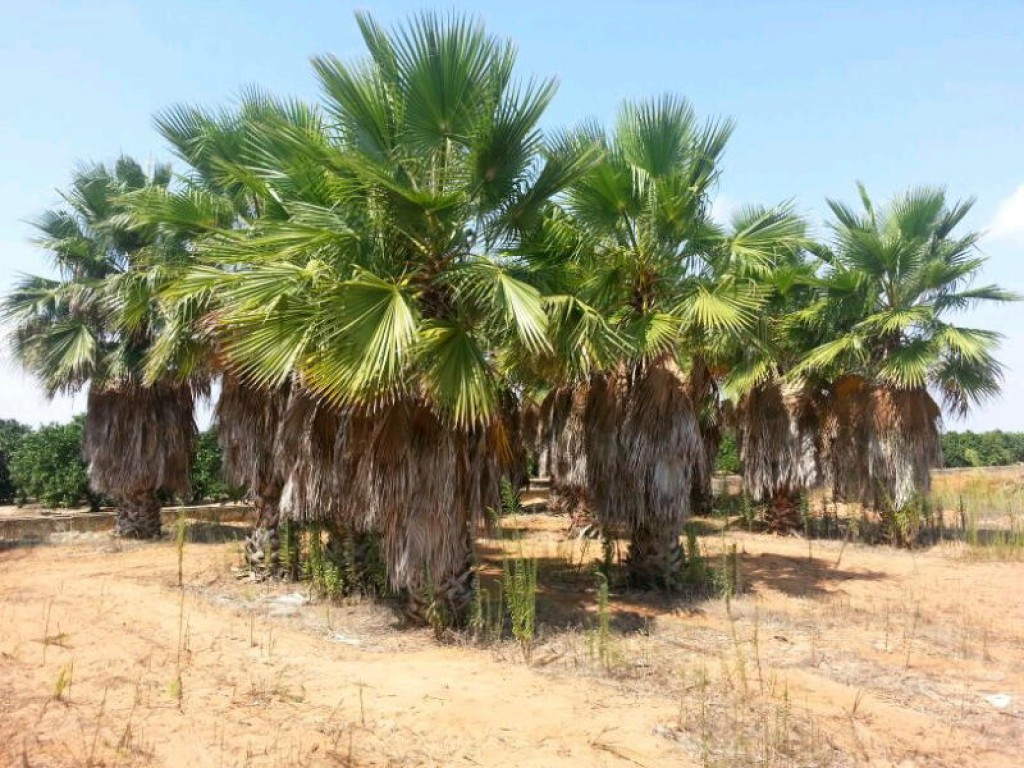 Mature palm trees for sale-7887