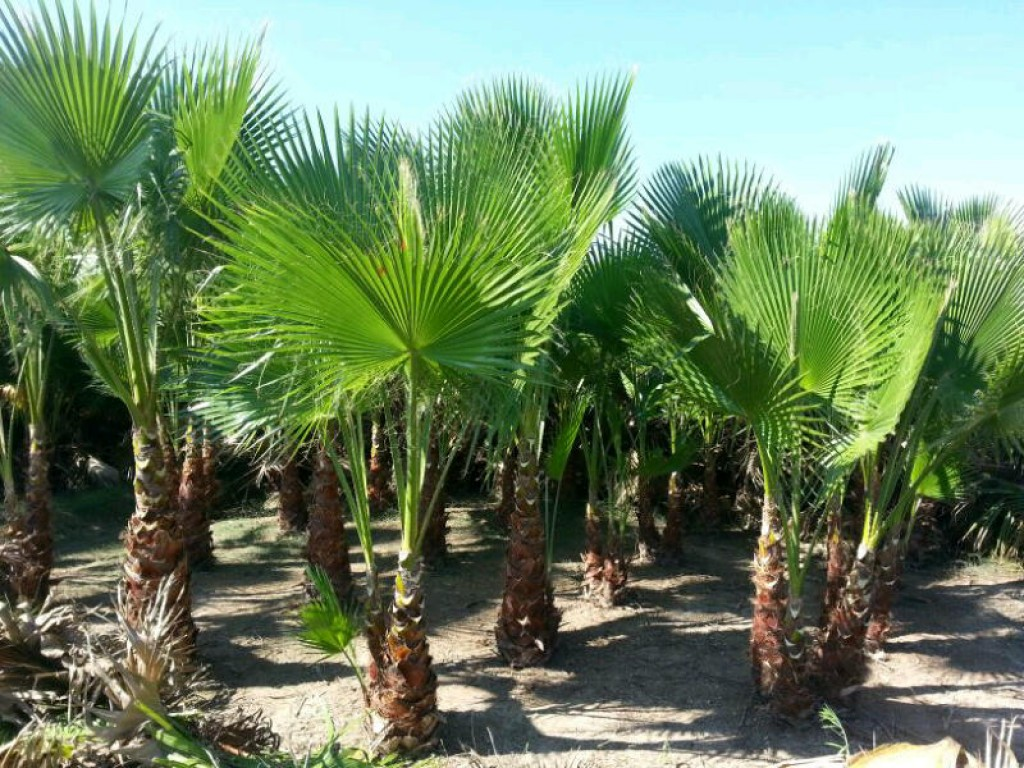 Import Export Valencia Palm Trees For Sale Great