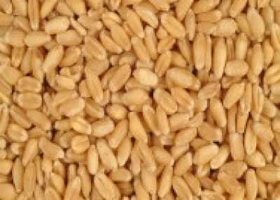 Cleaned Wheat Grains