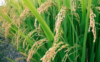 Indonesia will import rice from Cambodia (by Sylodium, international trade directory)