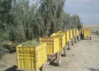 Olive plantations.